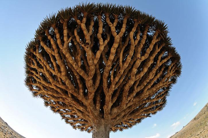 Dracaena-cinnabari-aka-Dragons-Blood-tree