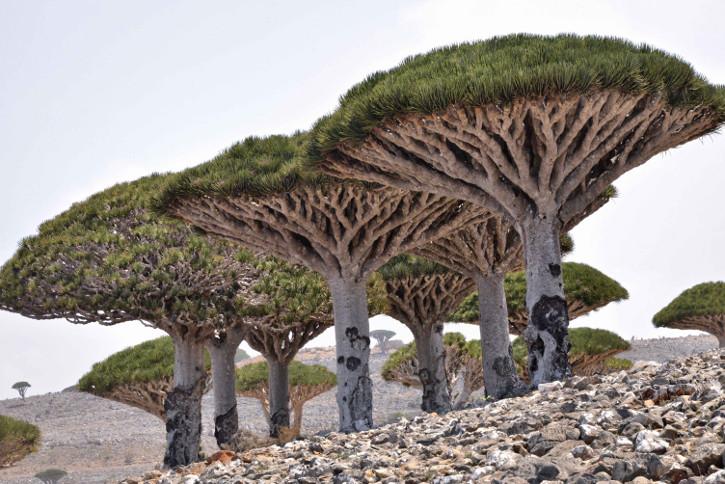 arbore socotra