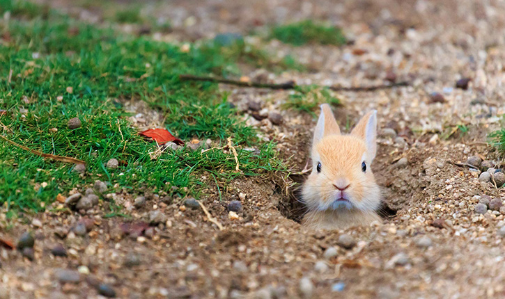 Okunoshima insula iepurilor #3 iepuri